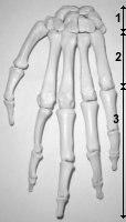 ostéologie du membre supérieur super cour Pmain1