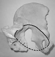 ostéologie du membre inférieurs  Piliaqu2