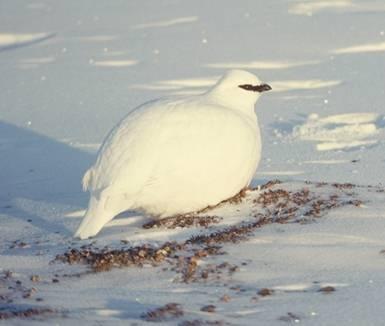 Arctic Chicken Rockptarmigan