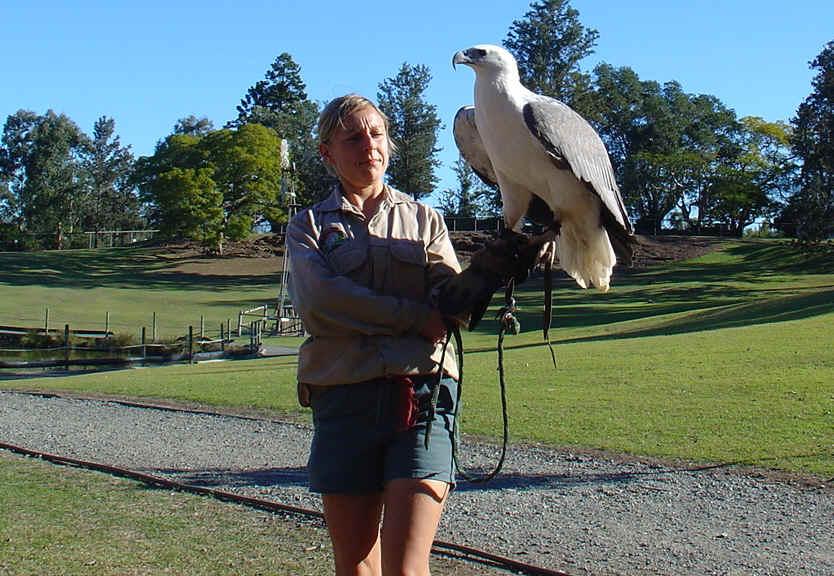 Comparação do tamanho de águias  com relação ao homem. White_belied_Eagle