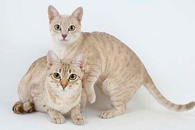 Необычные и редкие породы кошек и собак Aum1