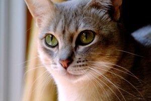 Необычные и редкие породы кошек и собак Aum2