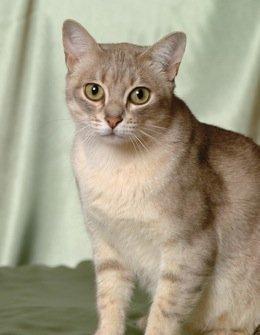 Необычные и редкие породы кошек и собак Aum5