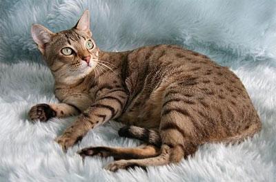 Необычные и редкие породы кошек и собак Aum6