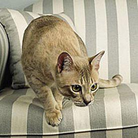 Необычные и редкие породы кошек и собак Aum8
