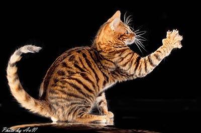 Необычные и редкие породы кошек и собак 03