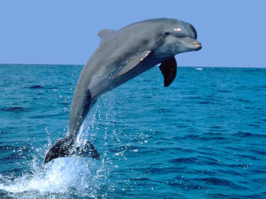 الدُلْفِين (أو الدولفين) Dolphin Dolphin002
