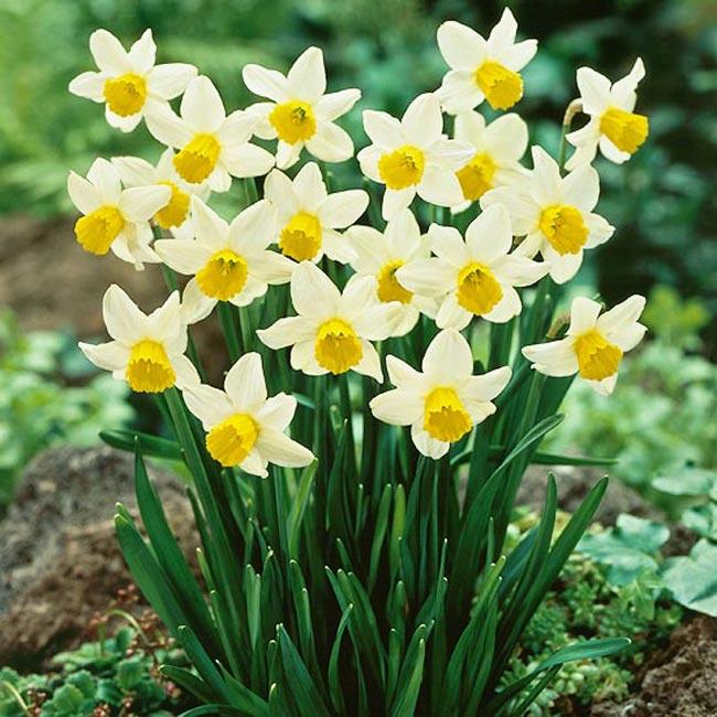 Hoa thủy tiên nở hoa đẹp vào dịp lễ tết Hoa-thuy-tien-1