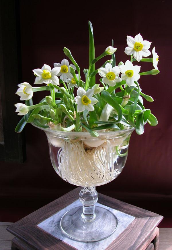 Hoa thủy tiên nở hoa đẹp vào dịp lễ tết Hoa-thuy-tien-5