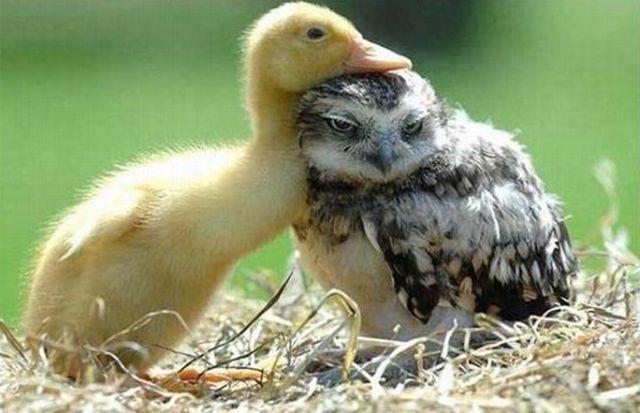 ПРИЈАТЕЛИ - Page 2 Baby-duck