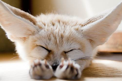 Les macs de la mignonnitude du règne animal August-19-2011-20-02-43-sleeping-fennec-fox