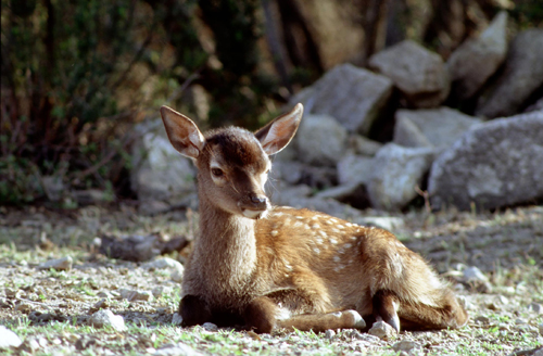 Calendario - Pagina 13 Cervo-sardo-bambi