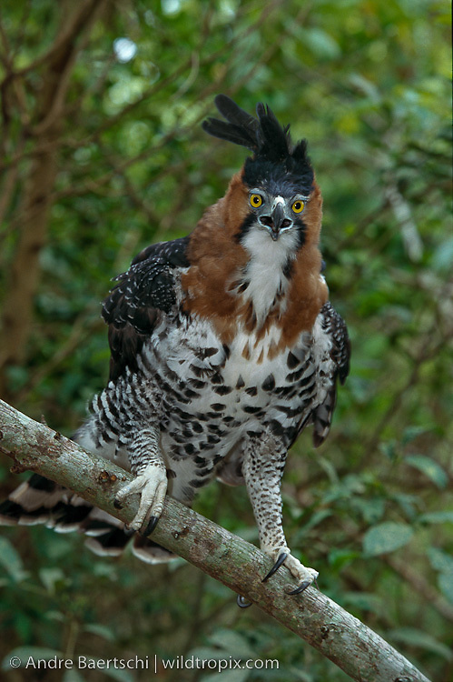 Falconiformes. Família  Acciptridae - Subfamília Buteonidade- Gaviões de penacho. genêro SPIZAETUS DB-0927