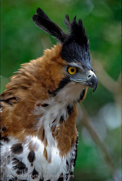 Falconiformes. Família  Acciptridae - Subfamília Buteonidade- Gaviões de penacho. genêro SPIZAETUS DB-0492