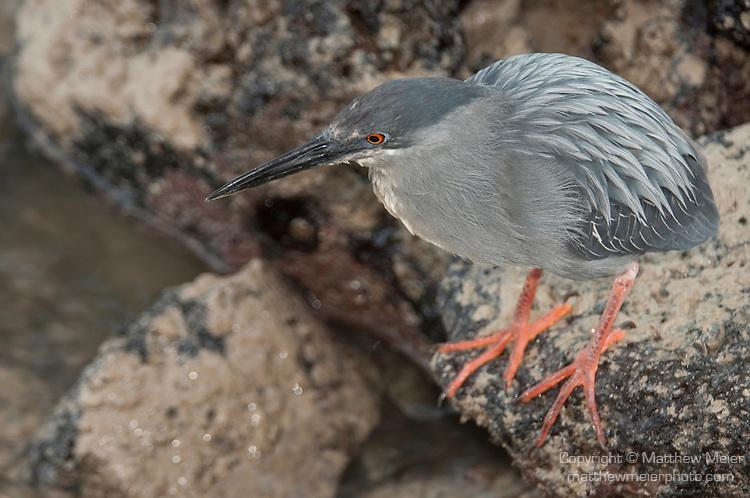 Garças do mundo Lava-heron-bird-galapagos-013186