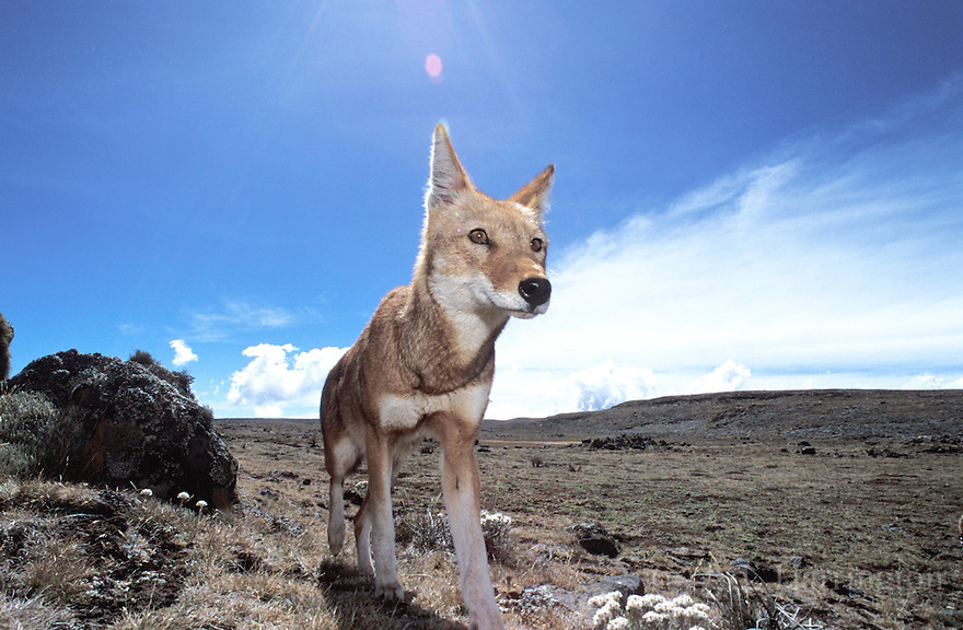 Carnívoros Família Canidae. Canis simensis- Lobo da Etiópia 015AndrewHarrington-Ethiopian-wolves