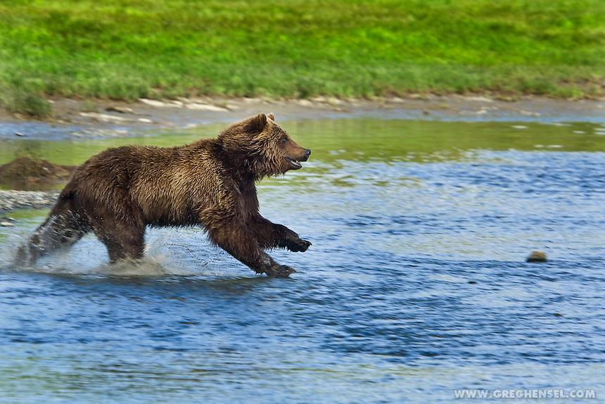 Urso pardo vs Urso polar - Página 2 Bear-Grizzly-Running-Water-Fish-20080619-0028