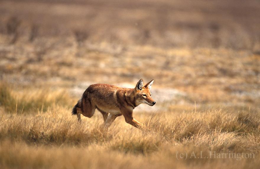 Carnívoros Família Canidae. Canis simensis- Lobo da Etiópia 014AndrewHarrington-Ethiopian-wolves