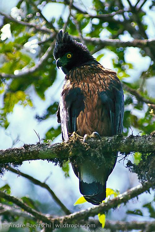 Falconiformes. Família  Acciptridae - Subfamília Buteonidade- Gaviões de penacho. genêro SPIZAETUS MB-0113