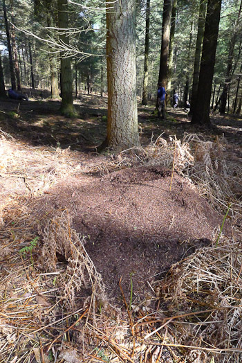 Wood ants nest disturbed by Badger
