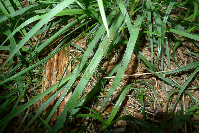 Grass displaying general disturbance, mud and water transferred onto leaves, creases in several blades of grass, colour change and flattening.