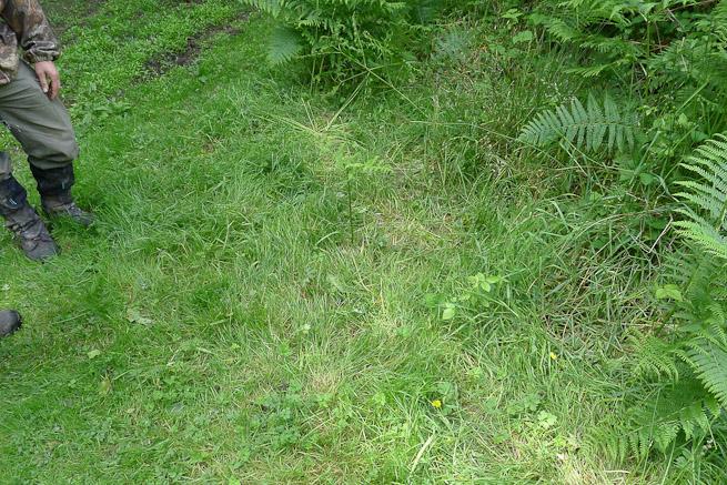 An area of grass flatttened by deer sitting