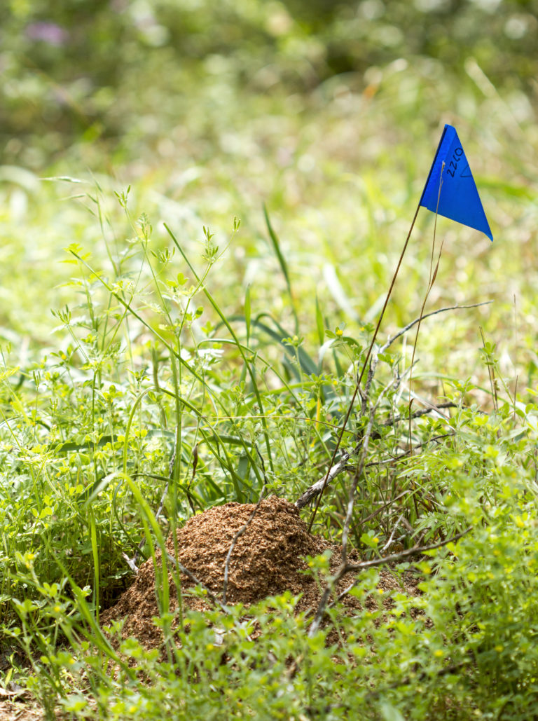 What is this?? Fire_ant_mound_16371103174-768x1029