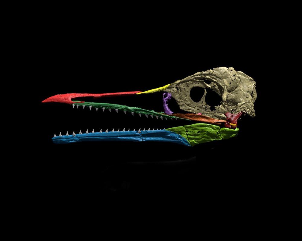 Des fossiles révèlent comment les premiers becs d'oiseaux se sont développés ! By Gurumed.org Ichthyornis-dispar2-18_thumb