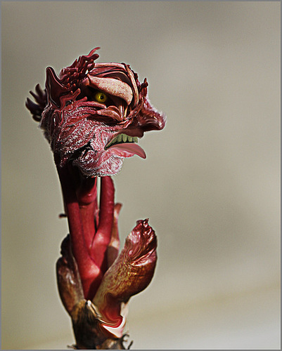 Paeonia - pivoines arbustives - Page 4 10082677.1aa71246.500