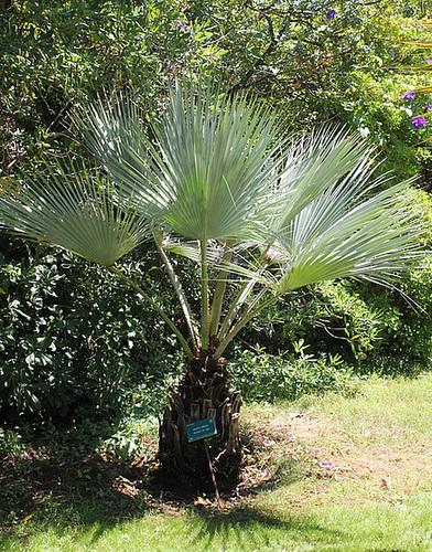 Brahea armata - palmier bleu du Mexique 10997580.e761180d.500