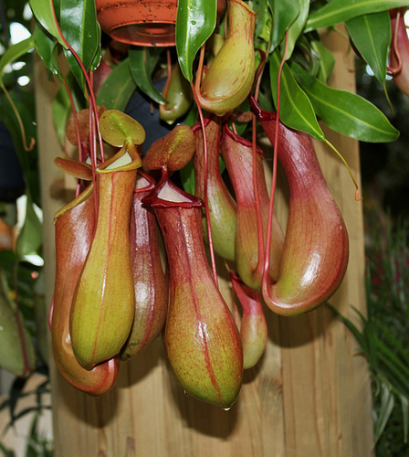 Nepenthes - plantes carnivores tropicales  27842447.45342629.500