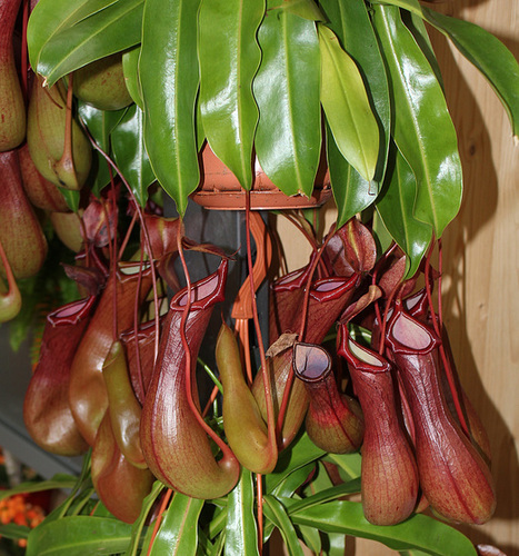 Nepenthes - plantes carnivores tropicales  27842453.0bc2ba59.500