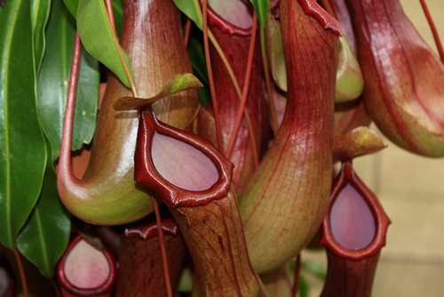 Nepenthes - plantes carnivores tropicales  27842485.933d8945.500