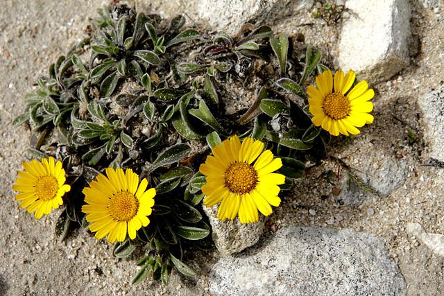 flore du littoral : plages, dunes, vases et rochers maritimes - Page 2 12693986.b7e7d279.640