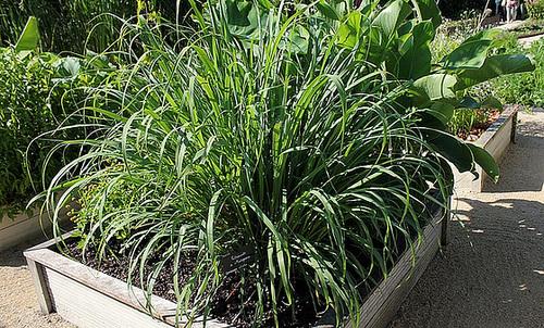 Cymbopogon citratus - citronnelle 13214086.8c4067c4.500
