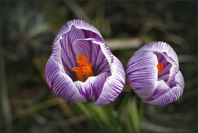 """Concours """"bulbeuse à floraison printanière"""" 30702441.f724519e.640"""