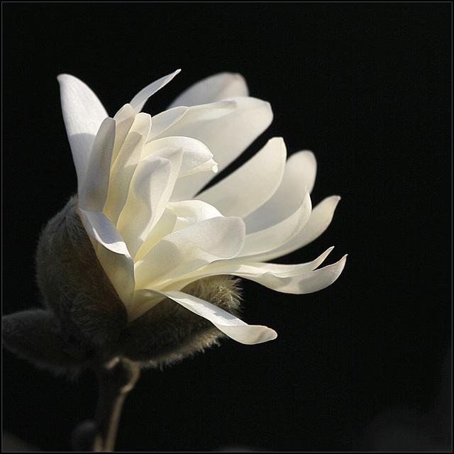 Magnolia stellata  31049171.86554012.640