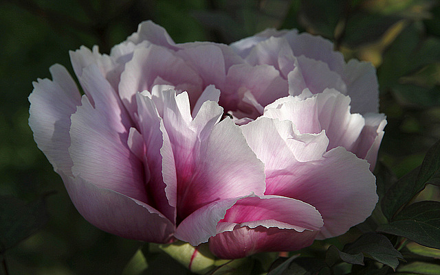 Paeonia - pivoines arbustives - Page 6 41870846.67385773.640