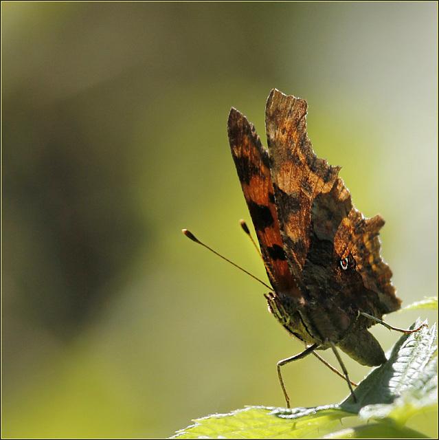 fil(et) à papillons - Page 9 42531410.785c23a6.640
