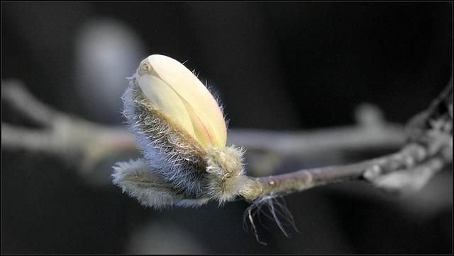 Magnolia stellata  37462454.4b66a4ea.640