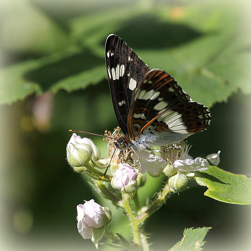 fil(et) à papillons - Page 9 42302536.27d5559c.1024