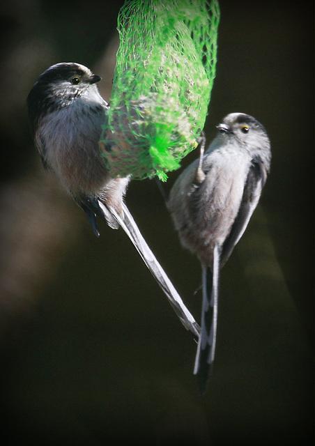 les visiteurs à plumes sauvages - 3 - Page 2 46302902.82c038da.640