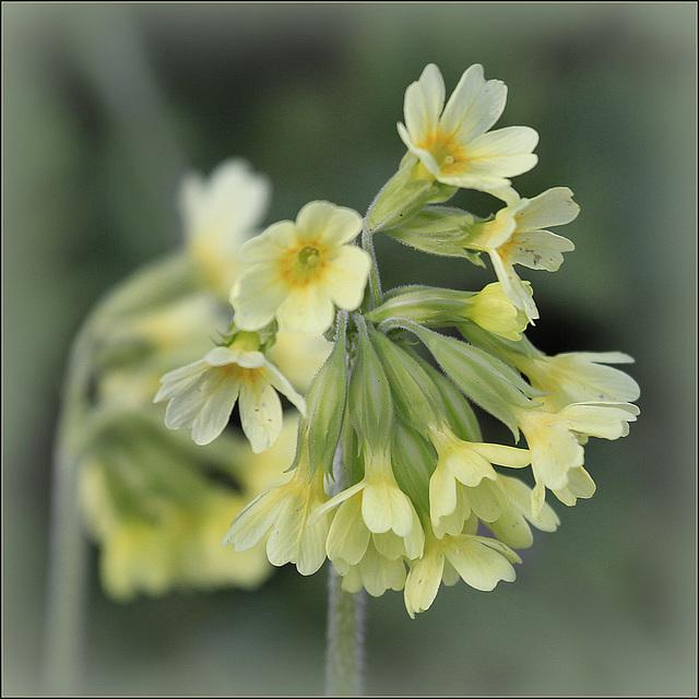 Primula veris, Primula elatior et hybrides - primevères 37623218.65ad2de5.640