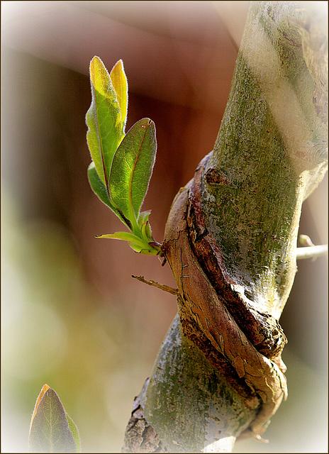Lonicera periclymenum - chèvrefeuille des bois  37593252.99963390.640