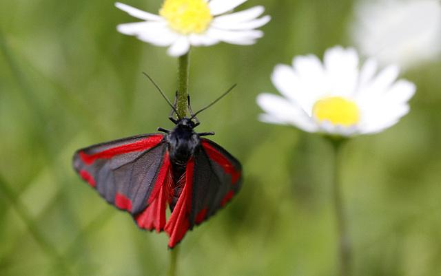 fil(et) à papillons - Page 14 42293502.781ada02.640