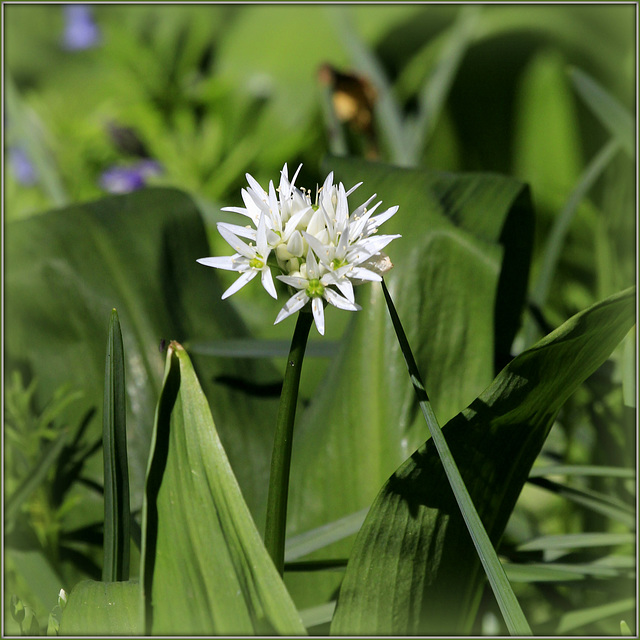 Allium ursinum - ail des ours 37874560.e0625a0d.640