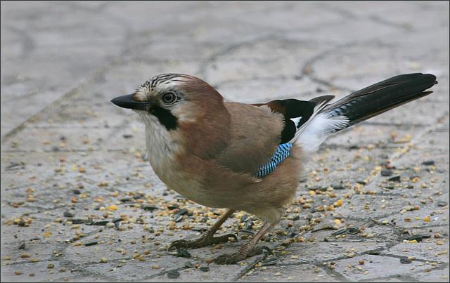 les visiteurs à plumes sauvages  2 - Page 11 44775194.524e7f8c.640