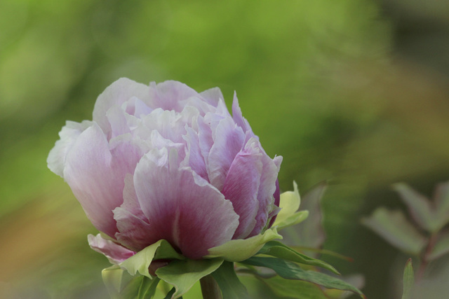 Paeonia - pivoines arbustives - Page 7 44696250.81302520.640
