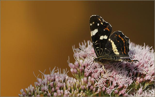 fil(et) à papillons - Page 7 39186804.ad95bccc.640
