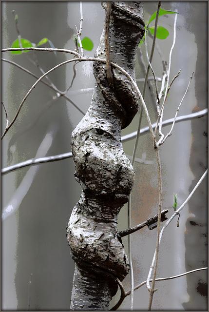 Lonicera periclymenum - chèvrefeuille des bois  37217660.657f8abc.640